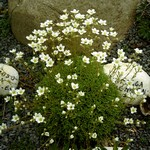 Photos Saxifraga cebennensis