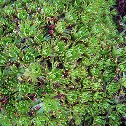 Photos Saxifraga cespitosa -