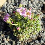 Photos Saxifraga � apiculata
