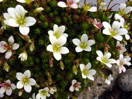 Photos Saxifraga hariotii - 