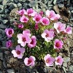 Photos Saxifraga burseriana