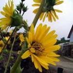 Fotos Silphium laciniatum