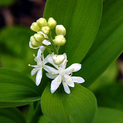 Photos Smilacina stellata -