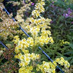 Photos Solidago