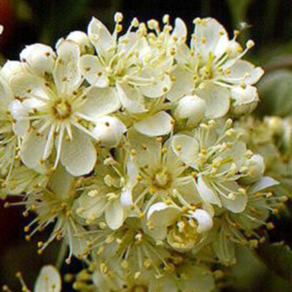 Photos Sorbus intermedia -