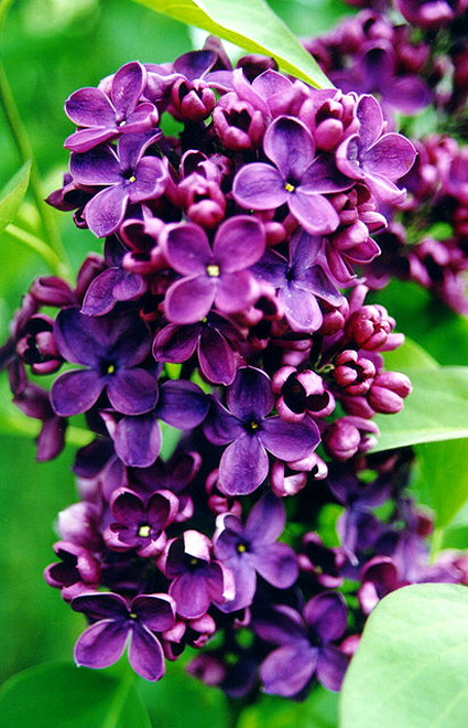 Photos Syringa vulgaris - Common lilac