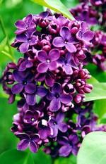 Fotos Syringa vulgaris
