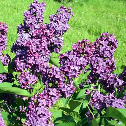 Fotos Syringa vulgaris -