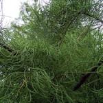Taxodium ascendens - Sumpfzypresse