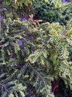 Taxus baccata - Eibe Adpressa Aurea
