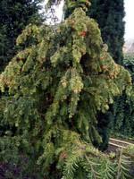 Taxus baccata - Adlerschwingen-Eibe Dovastoniana