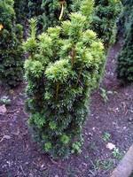 Taxus baccata - Gelbe Säulen-Eibe Fastigiata Aureomarginata