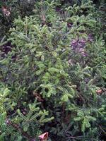 Taxus baccata - Eibe Rushmore
