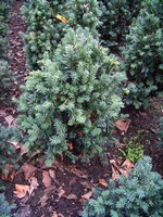 Taxus baccata - Eibe Schwarzgrün