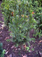 Taxus baccata - Kegel-Eibe Westerstede