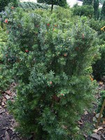 Taxus x media - Hecken-Eibe Hicksii