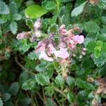 Teucrium aroanium - Sommergrüner Gamander