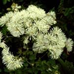 Thalictrum aquilegifolium - Garten-Amstelraute Album