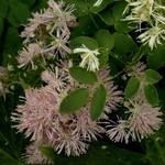 Thalictrum aquilegifolium - Garten-Amstelraute Purpureum
