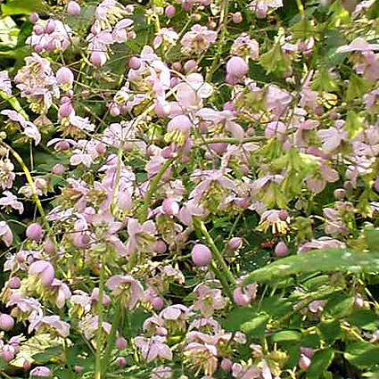 Photos Thalictrum delavayi - Columbine meadow-rue