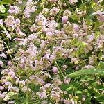 Thalictrum delavayi - China-Wiesenraute