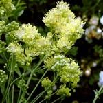 Thalictrum flavum - Wiesenraute