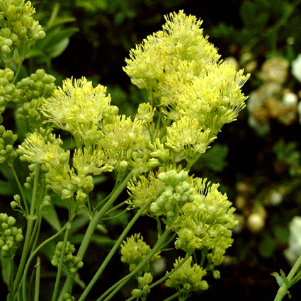 Photos Thalictrum flavum ssp. flavum - Columbine meadow-rue