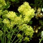 Thalictrum flavum ssp. flavum - Gelbe Wiesenraute