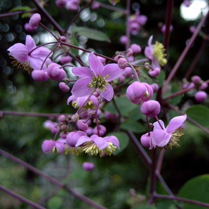 Photos Thalictrum rochebrunianum - Columbine meadow-rue