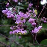 Thalictrum rochebrunianum - Prächtige Wiesenraute