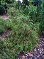 Thuja occidentalis - Langnadeliger Lebensbaum Filiformis