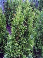 Thuja occidentalis - Abendländischer Lebensbaum Smaragd