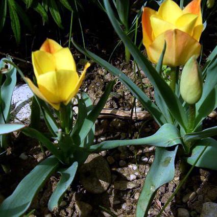 Fotos Tulipa linifolia -