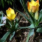 Fotos Tulipa batalinii