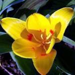 Fotos Tulipa Greigii
