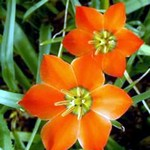 Fotos Tulipa maximowiczii