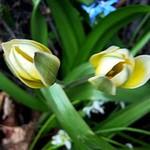 Fotos Tulipa polychroma