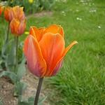 Fotos Tulipa Fosteriana-Hybride