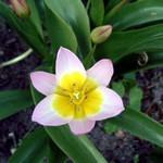 Fotos Tulipa saxatilis