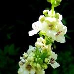 Verbascum nigrum - Weißblühende Garten-Königskerze Album
