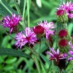 Vernonia crinita - Arkansas-Scheinaster, Ufer-Scheinaster