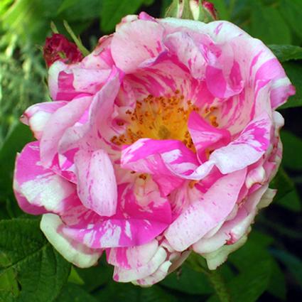 Fotos Rosa gallica -