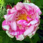 Photos Rosa gallica