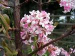 Viburnum bodnantense - Winterduftschneeball