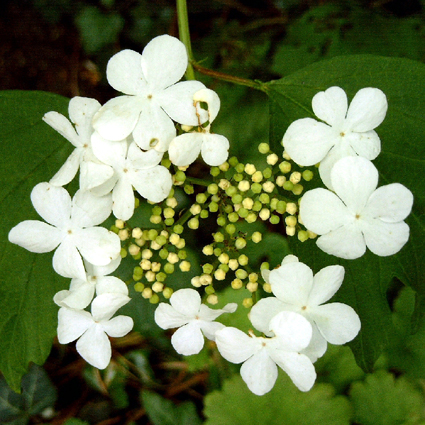 Photos Viburnum opulus - European cranberrybush