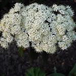 Viburnum rhytidophyllum - Runzelblättriger Schneeball, Immergrüner Zungen-Schneeball