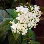 Viburnum tinnus -