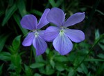 Photos Viola cornuta