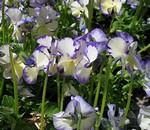 Viola cornuta - Rebecca