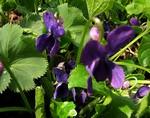 Photos Viola odorata